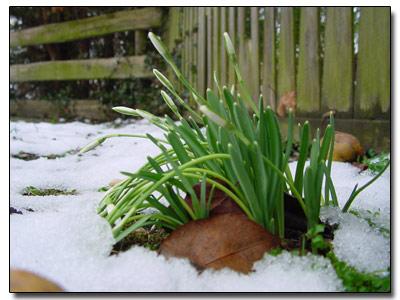 Schneeglöckchen am 29. Januar!